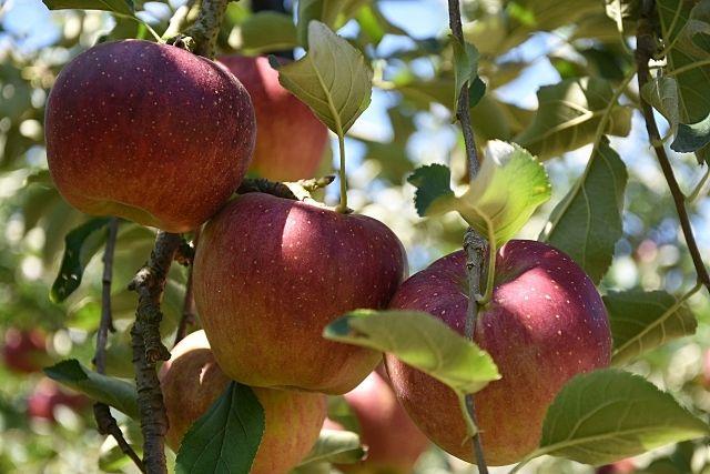 下條村のリンゴ販売