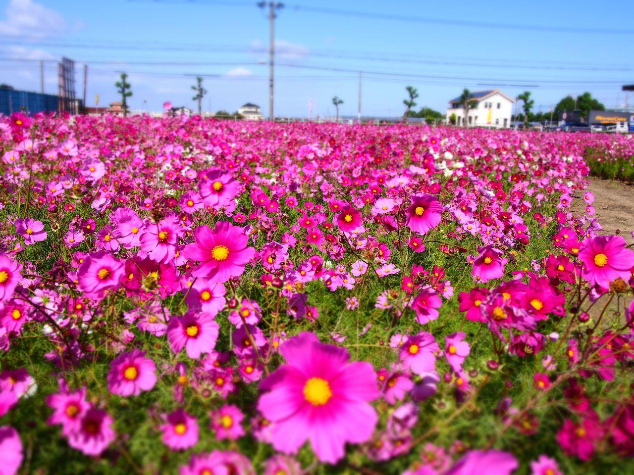 赤松町のコスモス満開!!
