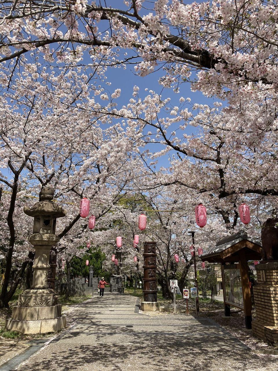 桜満開でした!! 高浜大山緑地(高浜市)