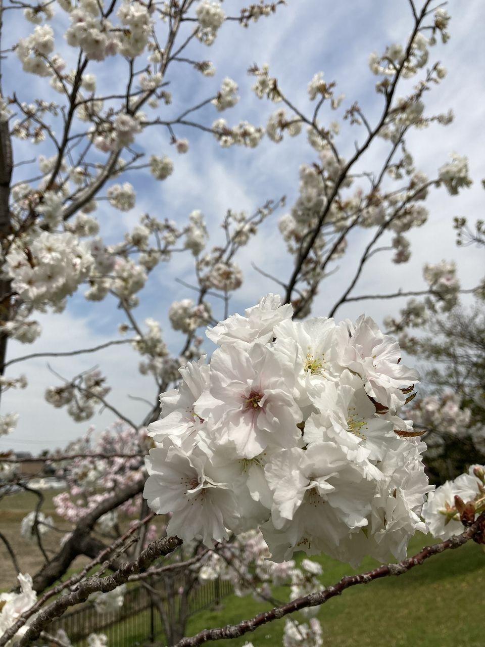 総合運動公園の八重桜満開!!(刈谷市)