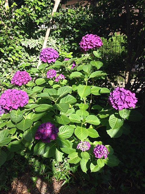 売主様が撮影した紫陽花